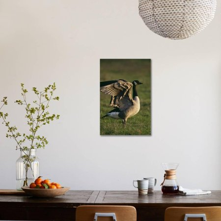Best Canada Goose Stretching Wings Stretched Canvas Print Wall Art By DLILLC deal