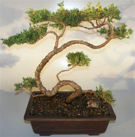 Juniper Bonsai Tree - Trained Large (juniper procumbens n...