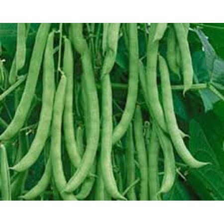 Pole Bean Varieties - The Dirty Gardener Heirloom Kentucky Wonder Pole Beans, 1 Pound
