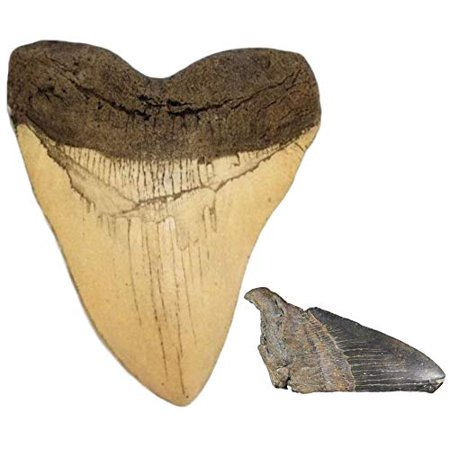 Ivory Megalodon Shark Tooth Replica and Genuine Fossil Megalodon Tooth Partial Megalodon Fossil Shark Tooth
