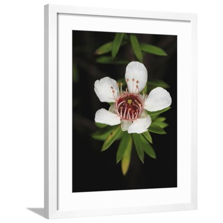 A Manuka or Tea Tree Flower (Leptospermum Scoparium) Framed Print Wall Art By Eric Tourneret