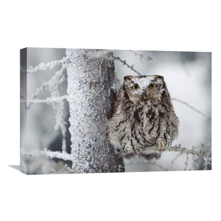Global Gallery Western Screech Owl Perching in a Tree with Snow on Its Head British Columbia Canada Wall Art