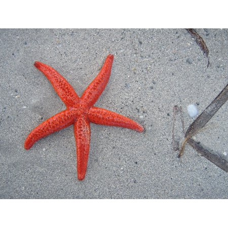 Canvas Print Starfish Sand Marine Life Beach Contrast Red Sea Stretched  Canvas 10 x 14