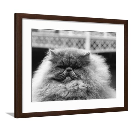 Blue Persian Cat in the National Cat Club Championship at the Olympia Framed Print Wall - National Cat Club