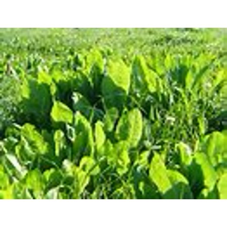 Image of The Dirty Gardener Chicory Deer Plot, 5 Pounds
