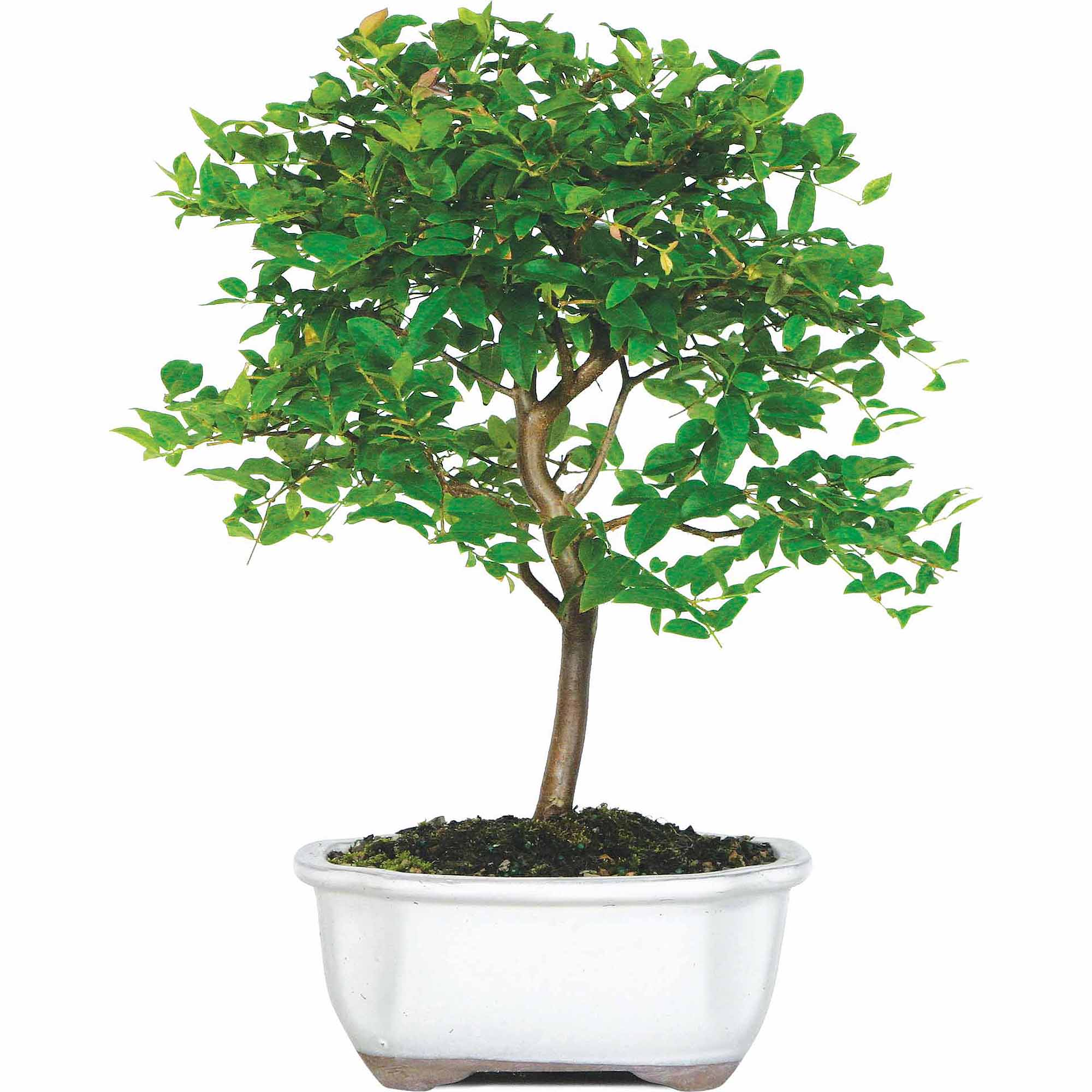 Brussel's Jaboticaba Bonsai Large (Indoor) by Brussel's Bonsai