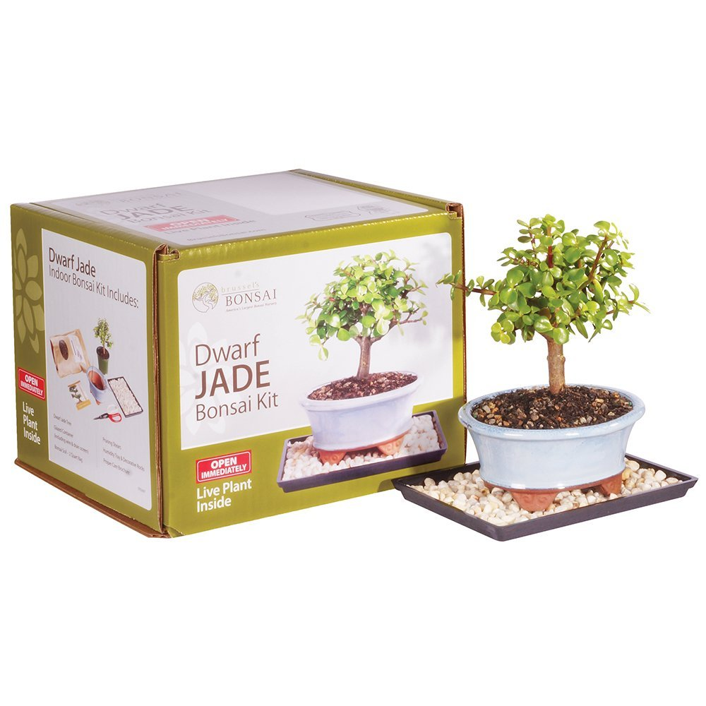 Brussel's Dwarf Jade Bonsai Kit (Indoor) by Brussel's Bonsai