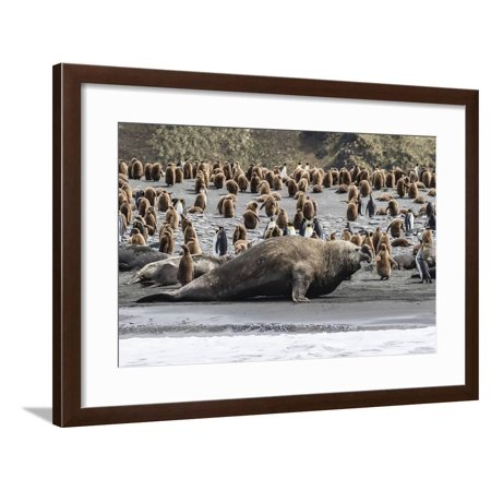 Southern Elephant Seal Bulls (Mirounga Leonina) Charging on the Beach in Gold Harbor, South Georgia Framed Print Wall Art By Michael