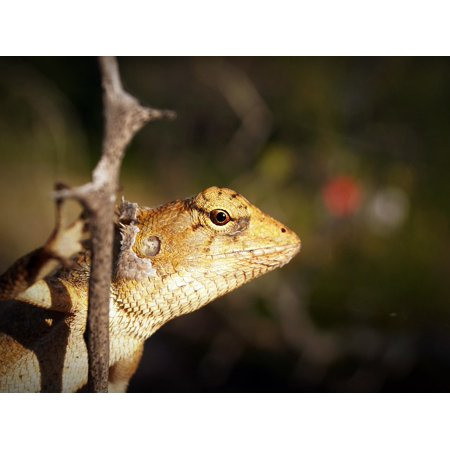 Canvas Print Close-up Animal Outdoors Gecko Macro Lizard Eye Stretched Canvas 10 x 14 ()