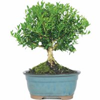 Harland Boxwood Bonsai Tree
