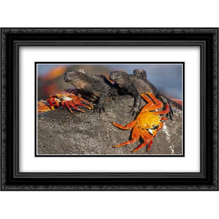 Sally Lightfoot Crabs and Marine Iguanas, Galapagos Islands, Ecuador 2x Matted 24x18 Black Ornate Framed Art Print by De Roy, Tui