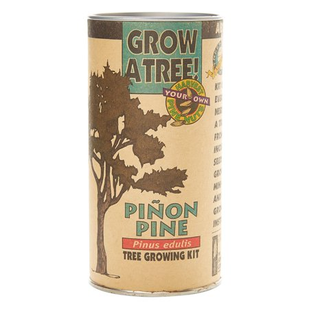 Pinon Pine | Tree Seed Grow Kit | The Jonsteen (Company House Kit)