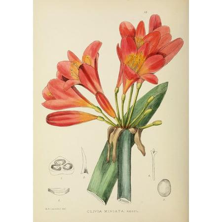 The Flowering Plants of Africa 1921 Clivia Miniata Canvas Art - KA Lansdell (18 x -