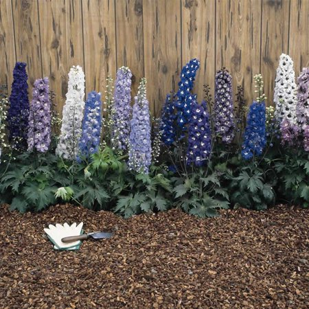 Delphinium magic fountain series flower seeds multi color mix delphinium magic fountain series flower seeds multi color mix 1000 seeds perennial flower garden seeds delphinium elatum walmart mightylinksfo