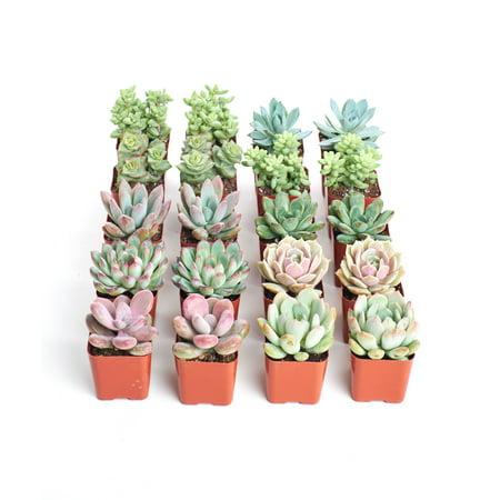 Home Botanicals Premium Pastel Succulent (Collection of 20)