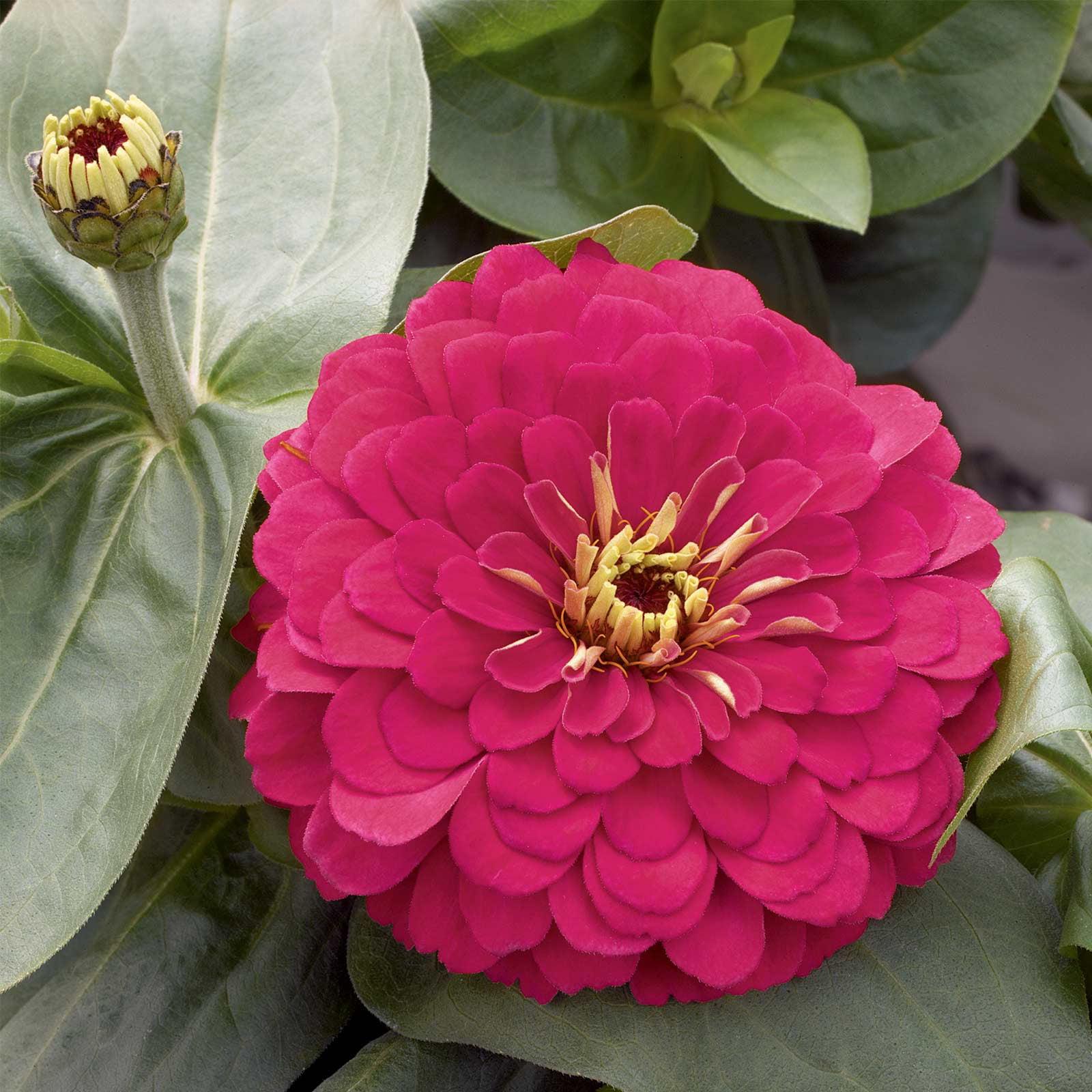 Zinnia Flower Garden Seeds - Magellan Series - Cherry - 100 Seeds - Annual Flower Gardening Seed