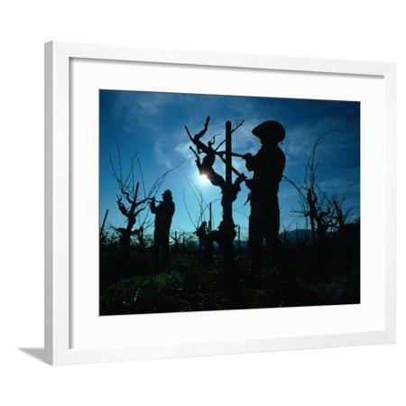 Silhouette of People Pruning Vines, Dry Creek Valley, Sonoma, USA Framed Print Wall Art By Nicholas