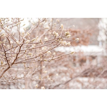 LAMINATED POSTER Frost Cold Branch Spring Winter Bud Pussy Willow Poster Print 24 x 36