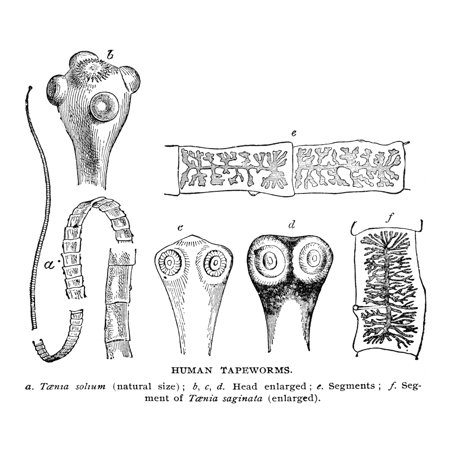 Tapeworms 19th Century Nfigures A E Represent Taenia Solium The Pork