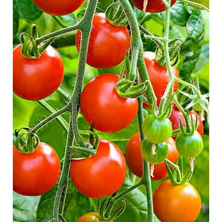 Heirloom Tiny Tim Cherry Tomato Seeds 185 +1 Plant