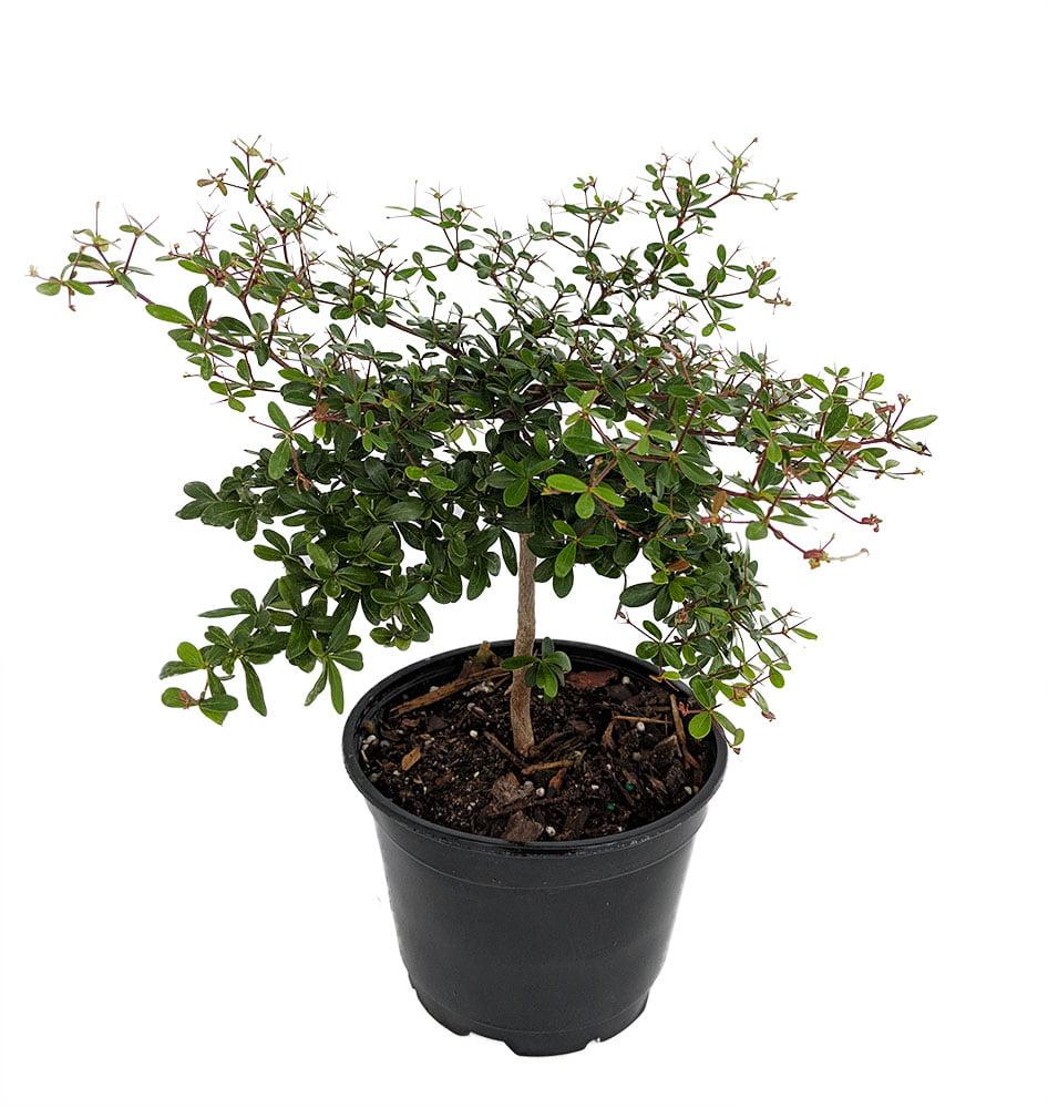 Dwarf Black Olive Tree Indoors Or Out 6 Pot Bucida Spinosa Walmart Com Walmart Com