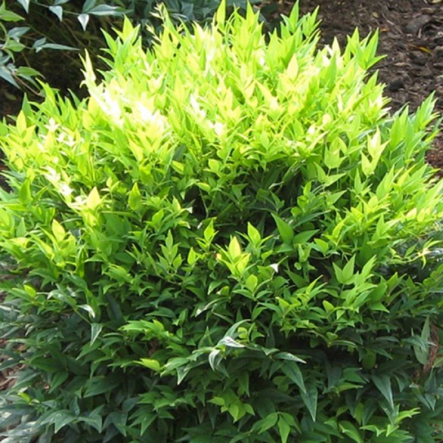 2 5 Qt Lemon Lime Nandina Bright Green Feathery Foliage Dwarf