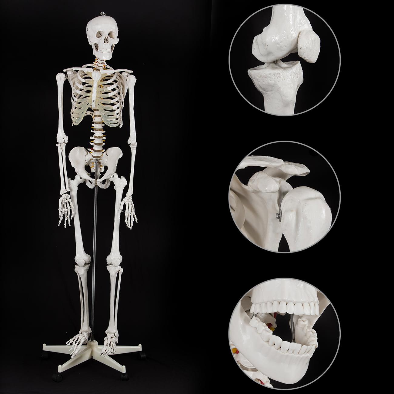 Onebigoutlet Life Size Human Anatomical Study Anatomy Skeleton