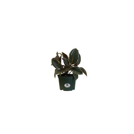United Nursery Ficus Elastica Tineke Plant Live Rubber Plant Indoor Houseplant in 6 inch Grower Pot at 12 to 15 Inches