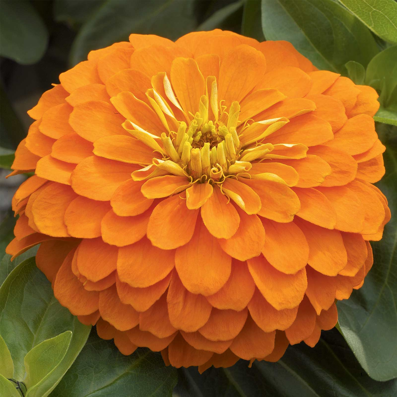 Zinnia Flower Garden Seeds - Magellan Series - Cherry - 100 Seeds - Annual Flower Gardening Seed