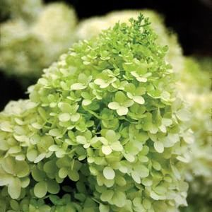 Hydrangea-Limelight - QT Pot (Shrub)