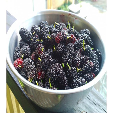 MULBERRY FRAGRANCE OIL - 8 OZ - FOR CANDLE & SOAP MAKING BY VIRGINIA CANDLE SUPPLY - FREE S&H IN