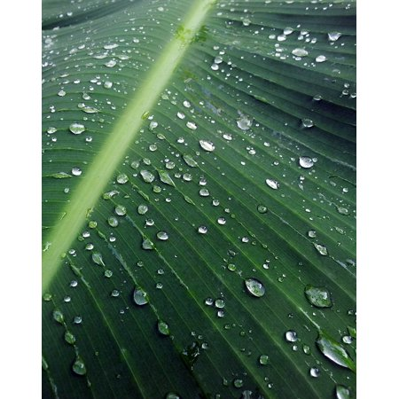 - Peel-n-Stick Poster of Water After Leaf Banana Drops Plant Leaves Rain Poster 24x16 Adhesive Sticker Poster Print