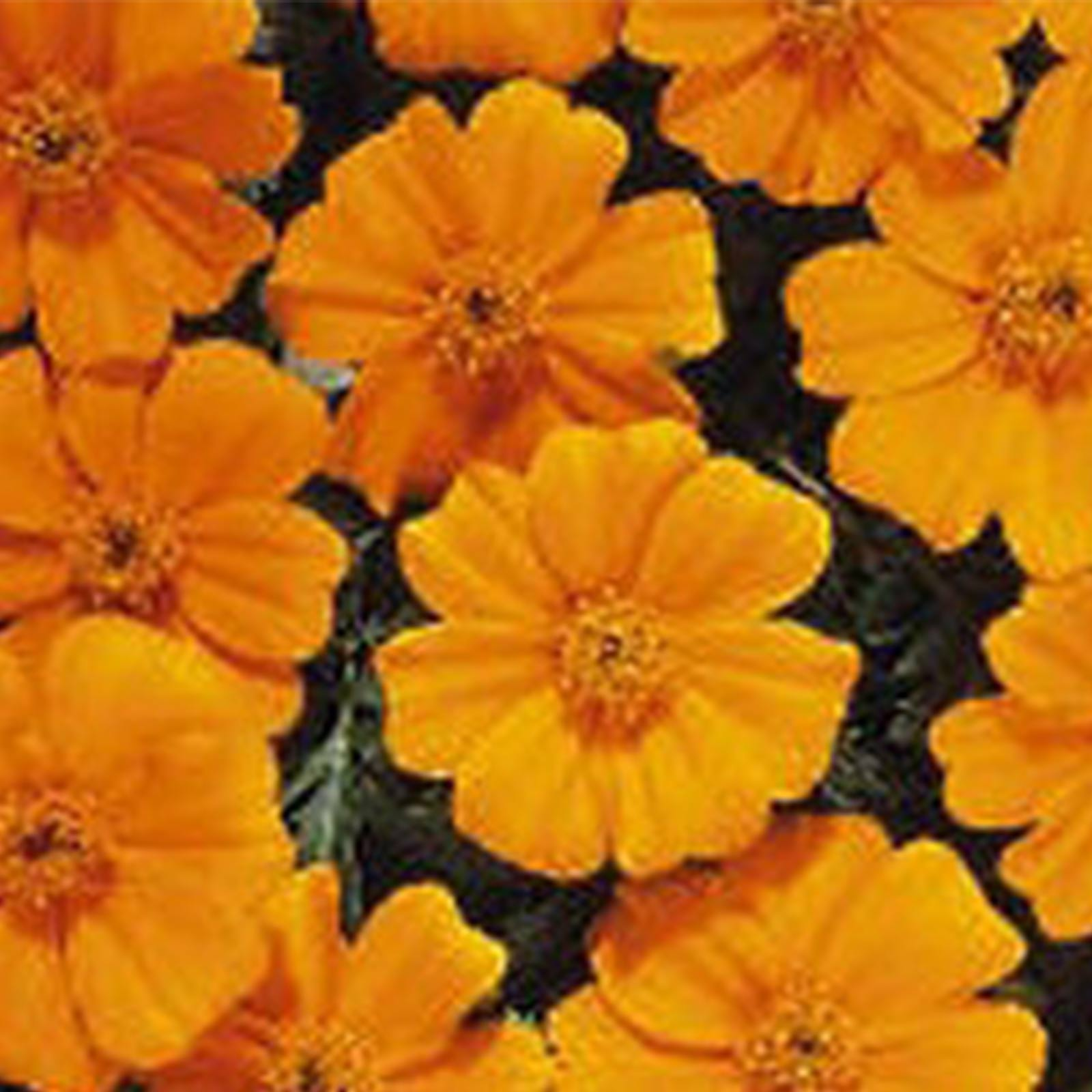 French Marigold Flower Garden Seeds - Disco Series - Marietta - 1000 Seeds - Annual Flower Gardening Seeds - Tagetes patula