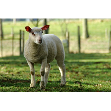 LAMINATED POSTER Lamb Nature Sheep Farm Animals Breeding Poster Print 24 x