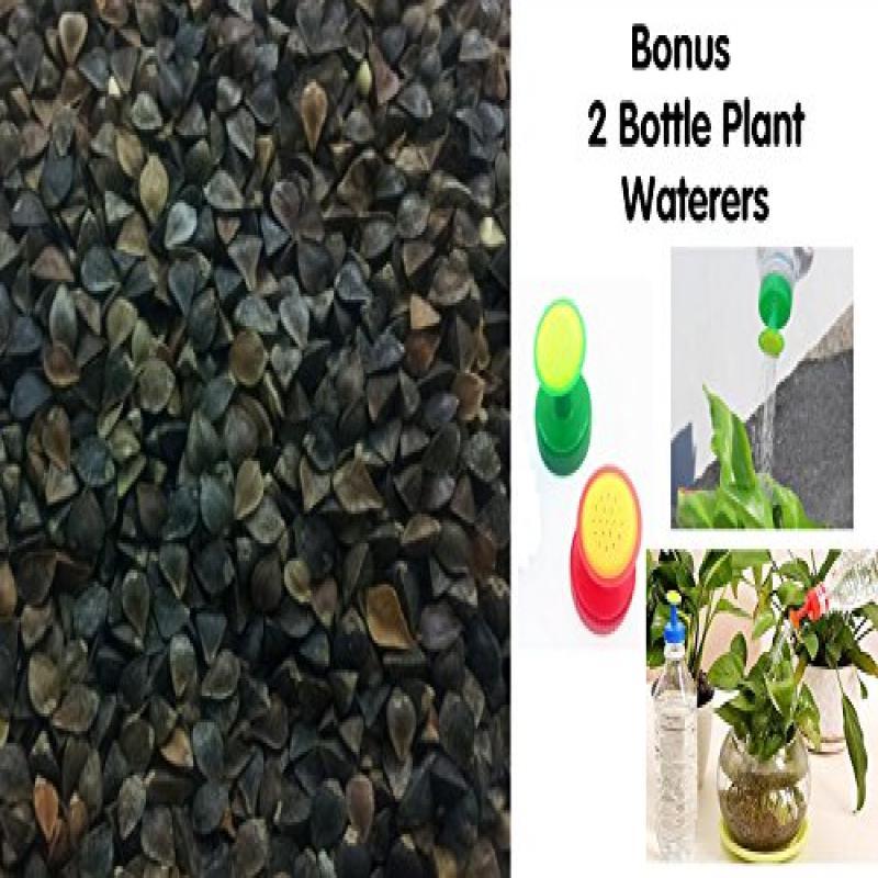 SanDaveVA Brand Buckwheat Seeds 5 lb Bulk Forage Food Plo...