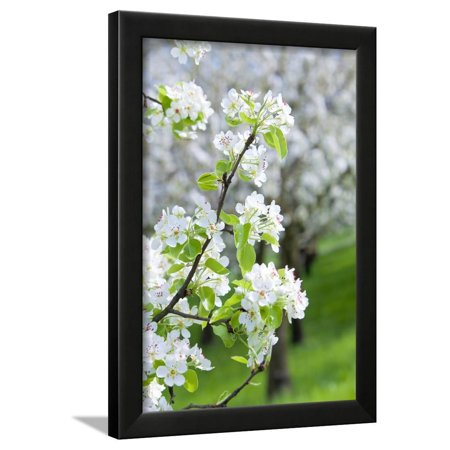 Spring Wall Lighting - Czech Republic, Prague - Cherry Trees in Blossom on Petrin Hill in Spring Framed Print Wall Art By Green Light Collection