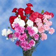 GlobalRose 100 Stems of Valentine's Day Spray Carnations 400 Blooms