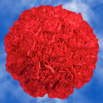 GlobalRose Long Stem Red Carnations - 300 Red Carnations Long