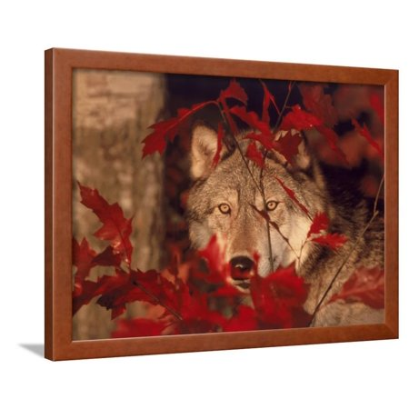 Gray Wolf Peeking Through Leaves Framed Print Wall Art By Lynn M. Stone ()