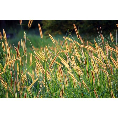 - LAMINATED POSTER Golden Seeds Grass Seed Long Seeds Brown Seed Field Poster Print 24 x 36