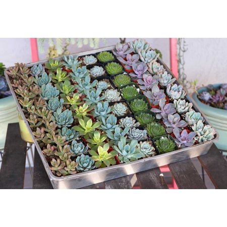 Wedding Bell Favors (Rosette Succulents for Wedding Favors, Party Gifts and Gardens - 2