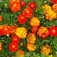 Deals on Fox Valley Traders Flower Mat Merry Marigolds 17-inch x 5-ft