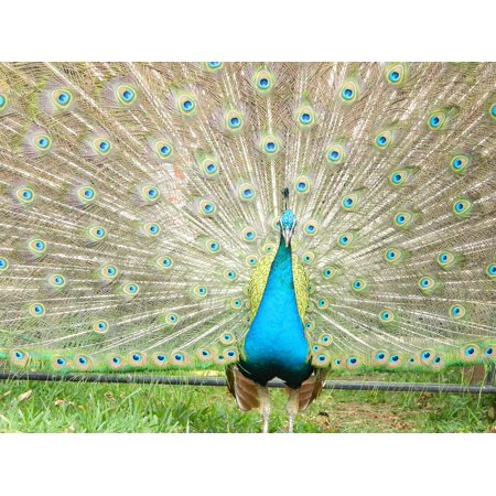 - LAMINATED POSTER Colorful Feathers Peacock Turkey Zoo Ave Animal Poster Print 24 x 36