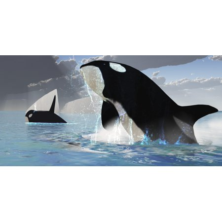 A female Orca whale traveling with a bull whale bursts from the ocean in a great splash of water Poster Print