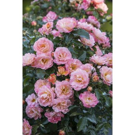 Rosebush Plant (Peach Drift Rose Plant - 2)