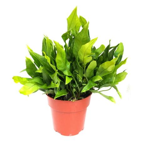 Image of Hawaii Live Plants Hawaii-outer Isle Flge Premium