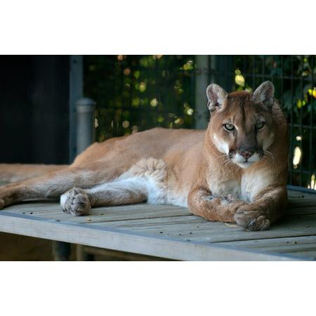 Lions Framed Wall - Framed Art for Your Wall Feline Predator Cat Puma Cougar Mountain Lion 10x13 Frame