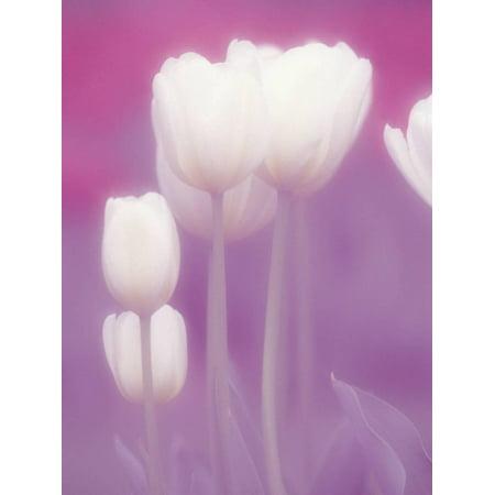 - Soft Focus View of Tulips, Cincinatti, Ohio, USA Print Wall Art By Adam Jones