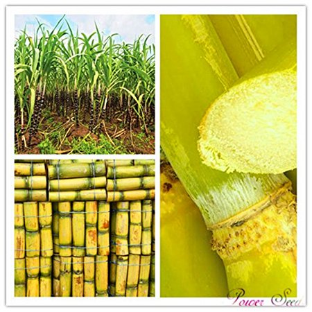 100pcs Vegetable and fruits seeds Sugar Cane seeds Are rich in sugar sugarcane seed Bonsai plants Seeds for home &