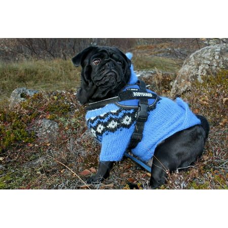- canvas print blue pug cute dog canine clothing jacket stretched canvas 10 x 14